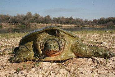 باشگاه خبرنگاران - ۴۰ درصد لاکپشتهای دنیا در آستانه انقراض