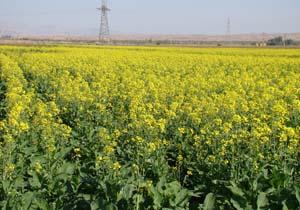 خرید ۹۸ هزار تن دانه روغنی کلزا از کشاورزان ۱۳ استان کشور