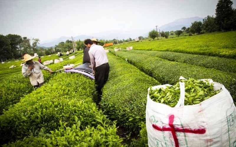 روز/خرید تضمینی برگ سبز چای از ۴۹ هزار تن فراتر رفت/رشد ۱۸ درصدی خرید برگ سبز چای نسبت به مدت مشابه سال قبل