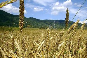 142 هزار تن محصول گندم تحویل مراکز خرید استان بوشهر شد