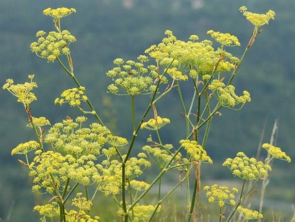 تاراج یک سرمایه/ خطر انقراض در کمین گونههای گیاهی ودارویی کهگیلویه وبویراحمد