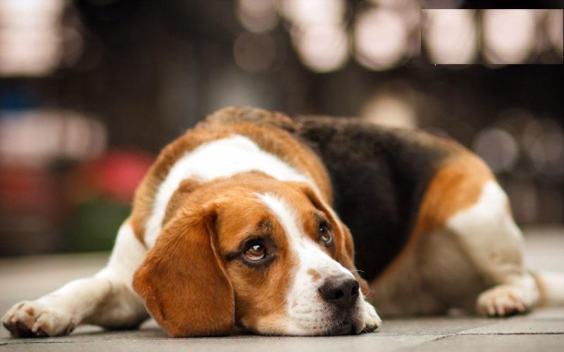 گریه یک توله سگ در دوری از گاوی که او رابزرگ کرده است+فیلم