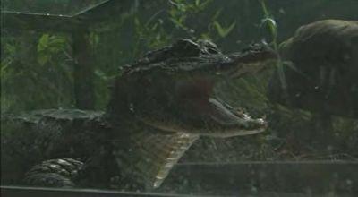 رها کردن ۱۲۰ تمساح در رود یانگ تسه + فیلم