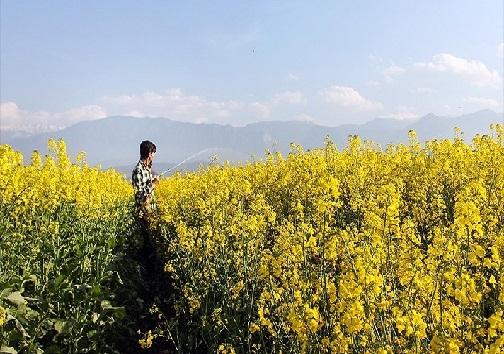 گلهای زرد کلزا، نوازشگر دستان خسته کشاورزان/چرخش چرخ تولید محصولات کشاورزی در کشور با دستان کشاورزان کارونی