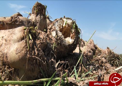 برداشت چغندرقند، کام تلخ کشاورزان را شیرین نکرد/رسیدن به خودکفایی در تولید شکر، توجه مسئولان را میطلبد+فیلم