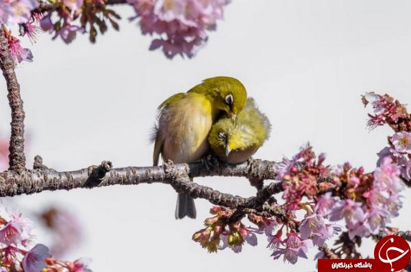 عشقبازی دو پرنده واربلر در عکس روز نشنال جئوگرافیک