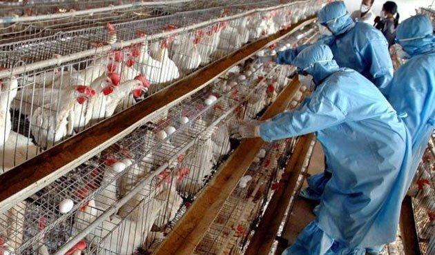 آنفلوآنزای اخیر پرندگان تاکنون باعث ایجاد بیماری انسانی نشده است