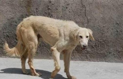 ضرورت چاره اندیشی برای مقابله با جولان سگهای ولگرد در سطح شهر تبریز