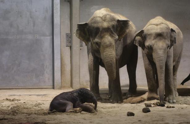 تصاویر روز: از برگزاری تظاهرات در هنگ کنگ در اعتراض به قانون استرداد مجرمان تا تولد یک بچه فیل در بلژیک
