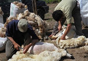 آغاز فصل پشم چيني گوسفندان در چهارمحال و بختیاری