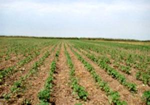 سطح کشت پنبه در زمینهای کشاورزی مازندران