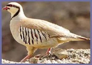 رها سازی ۱۰ قطعه کبک و پرندگان زینتی در دامن طبیعت