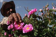 برداشت بیش از ۶۰۰ تن گل محمدی در سمنان