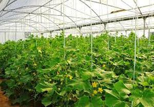 افتتاح بزرگترین واحد تولید سبزی و صیفی گلخانهای خراسان شمالی