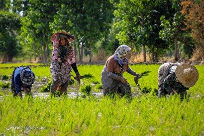 نشاء برنج در گرگان