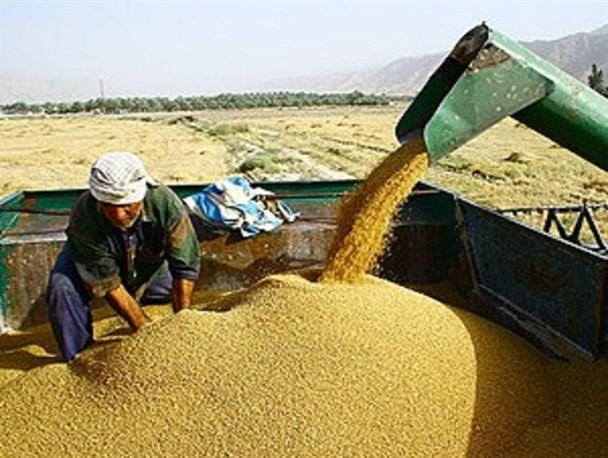 خریداری ۲۳۰ هزار تن گندم از کشاورزان ایلامی