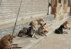 تردد آزادانه سگهای ولگرد در معابر شاهدآباد + فیلم