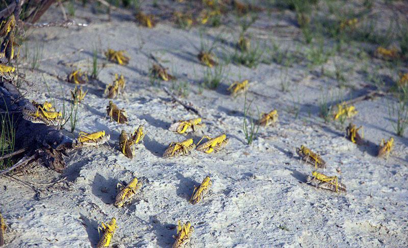 ملخ صحرایی حدود ۱۷۰ هزار هکتار از مراتع سیستان و بلوچستان فرا گرفت