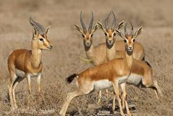 افزایش زادآوری وحوش حیات وحش سبزوار