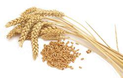 امسال گندمکاران استان زنجان ۵۵۰ هزارتن گندم تولید میکنند