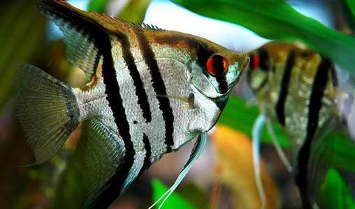 پرورش ماهیان زینتی سود آور و اشتغالزا/سود تولید در جیب دلالان!