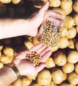 تولید بذر سیب زمینی در فارس