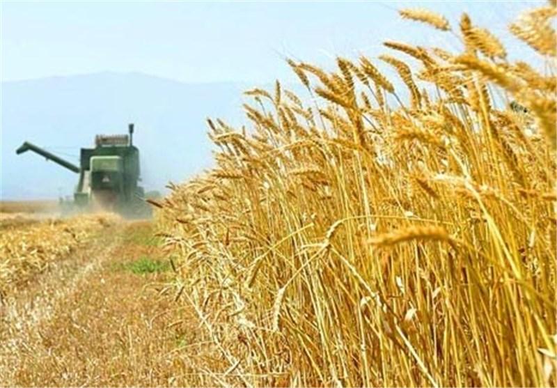 تولید گندم به ۱۴.۵ میلیون تن میرسد