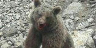 شناسایی ضاربان توله خرس تلف شده