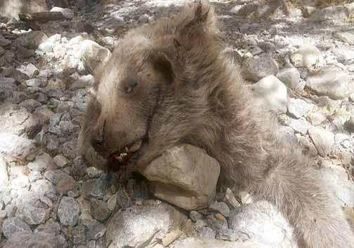 توضیحات فرمانده یگان حفاظت در خصوص سنگسار یک قلاده توله خرس در سوادکوه