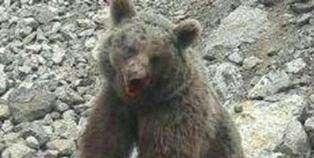 متهم به اتلاف یک قلاده توله خرس در سواد کوه دستگیر شد