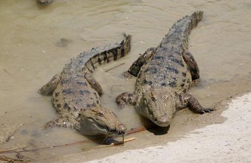 حضور تمساحها سرگردان در آبنمای شهر پیشین سرباز