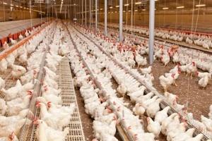 بهره برداری از یک واحد مرغداری گوشتی در صومعه سرا