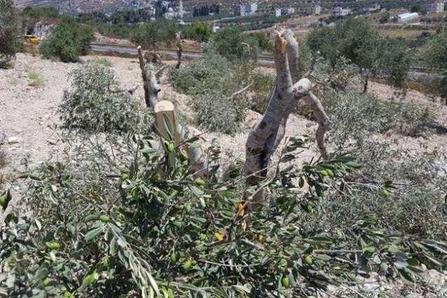 صهیونیستها دهها اصله درخت زیتون را از ریشه درآوردند