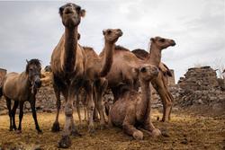 ورود بیاجازه شتران قطری به مراتع جنوب + صوت