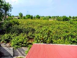 فیلمی از درختان کیوی در آستارا