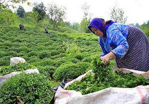 خرید تضمینی برگ سبز چای از ۵۱ هزار تن فراتر رفت/ رشد ۱۷ درصدی تولید نسبت به مدت مشابه سال قبل