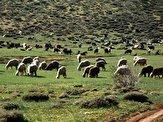 باشگاه خبرنگاران -سازمان محیط زیست مخالف حضور دام در مناطق حفاظت شده است