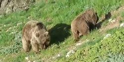 فیلمی زیبا از حضور خرسها در جنگل سوادکوه