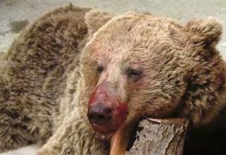 اولین مصاحبه با زنی که قصد نجات خرس کشته شده در سوادکوره را داشت/ خرس مادر از آن بالا نگاهمان میکرد