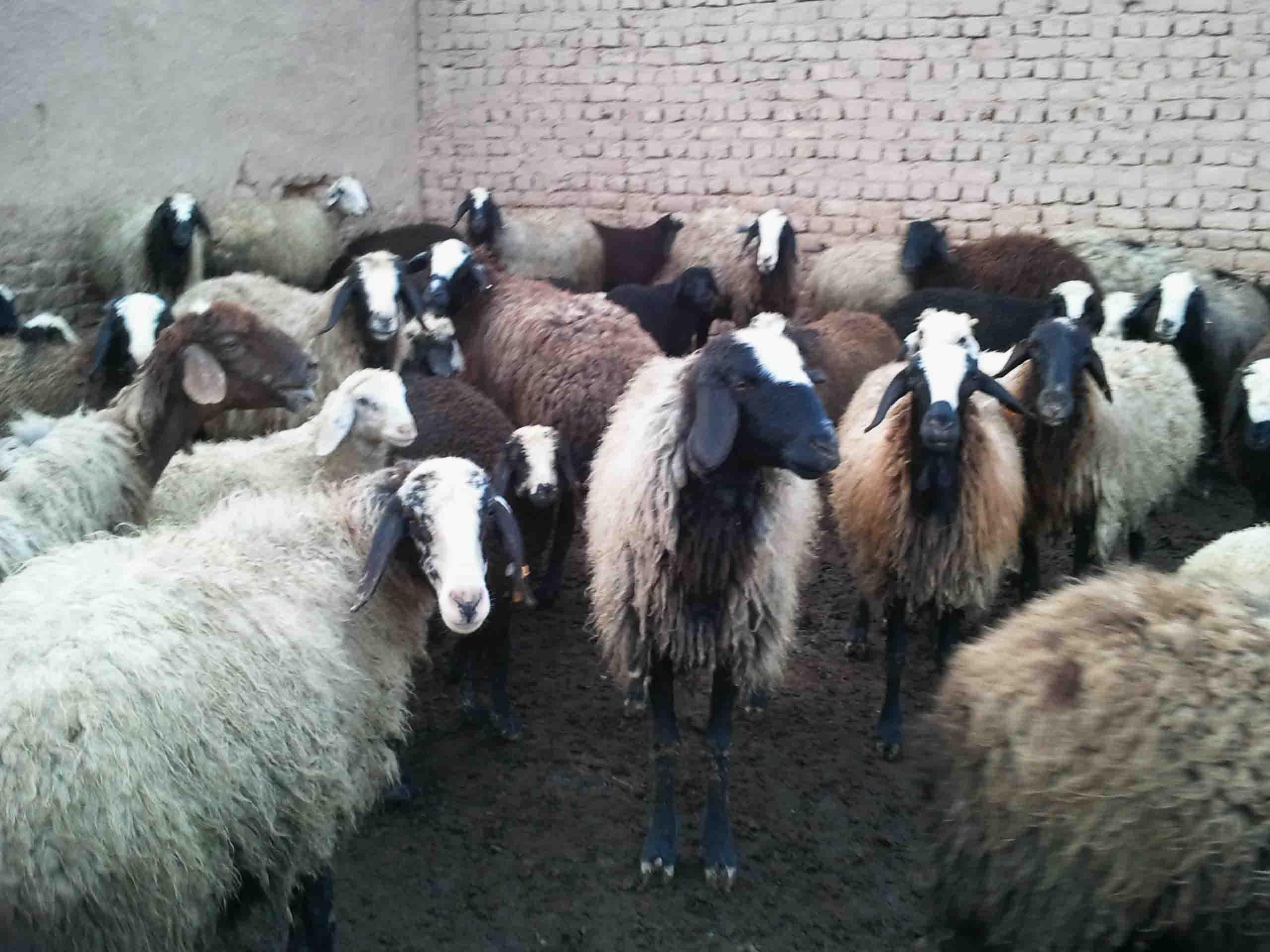 افزایش ۲۷ درصدی تعداد گوسفند و بره در سال 98