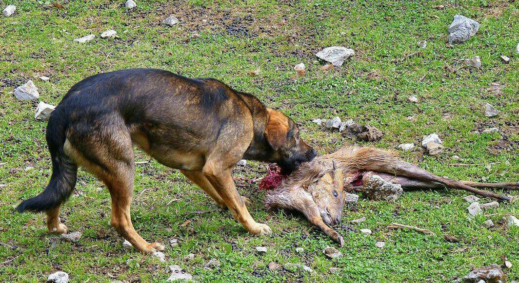 در حال تکمیل/////سگها بزرگترین قاتلان حیات وحش