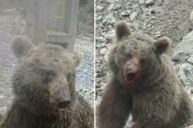 آنچه در روز حادثه کشتار توله خرس قهوهای گذشت/ حال و هوای خرس کوچولو از زبان فیلمبردار