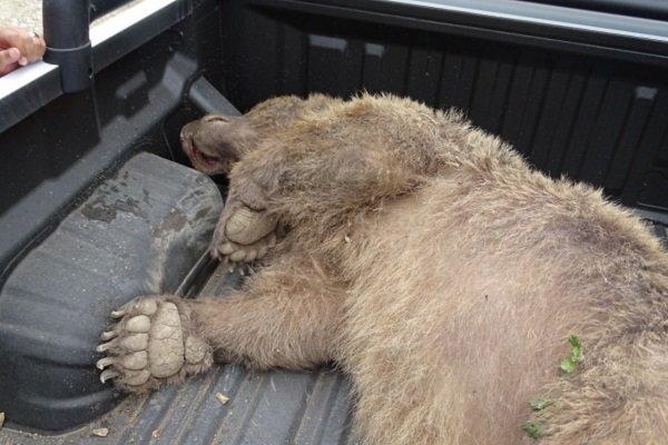 آنچه در روز حادثه کشتار توله خرس قهوهای گذشت/ حال و هوای خرس کوچولو از زبان فیلمبردار ماجرا