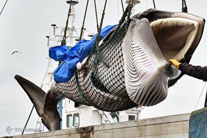آغاز صید تجاری نهنگها در ژاپن