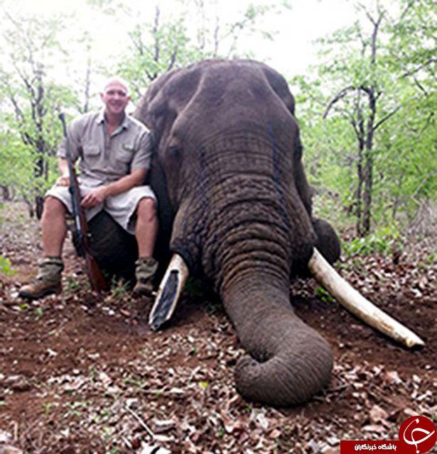 این شکارچی به کشتن حیوانات غول پیکر اعتیاد دارد! + تصاویر///
