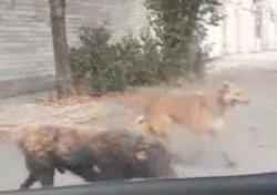 جولان آزادانه سگهای ولگرد در معابر میانه + فیلم