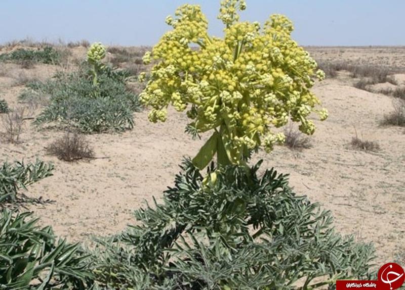 کرمان در لیست غنیترین منابع گیاهان دارویی جهان