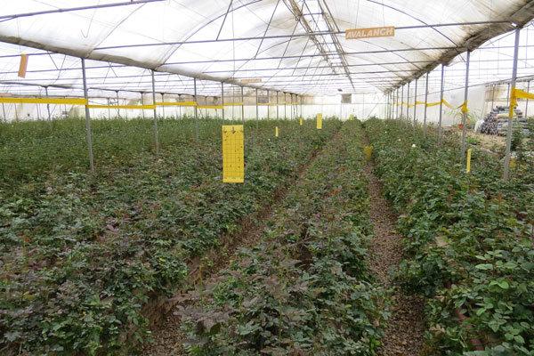 کیفیت گلخانه های جدید کشور همتراز با کشورهای اروپایی است/ ضرورت اصلاح ۱۹ درصد سازه های گلخانه ای