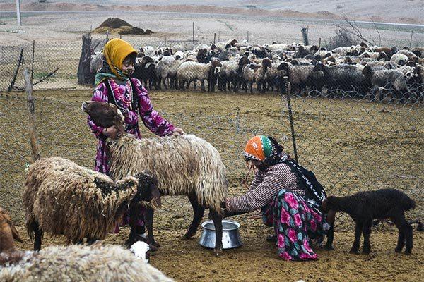 تولید سالانه سه هزار و ۵۰۰ تن شیر توسط عشایر دره شهر