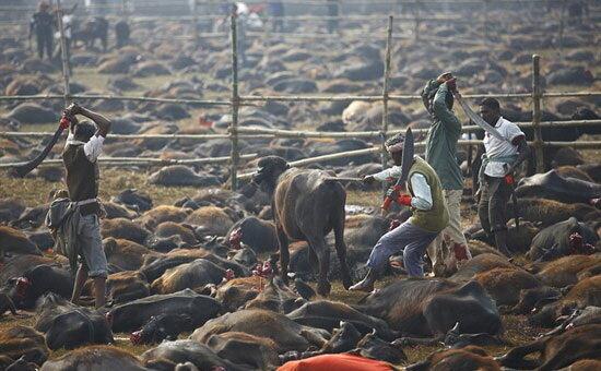قتل عامهای سنتی حیوانات در جهان + تصاویر